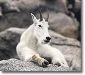 Photo of Mountain Goat in Glacier park