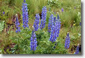 Beautiful blue lupine, a native wildflower